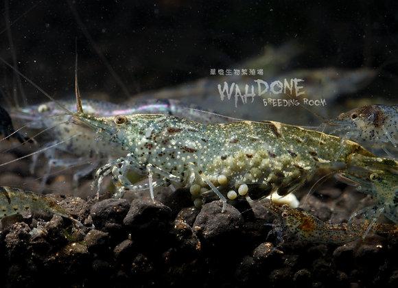 食藻黑殼蝦 (10隻)