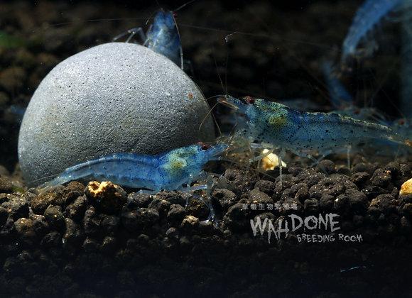 星願藍寶石蝦