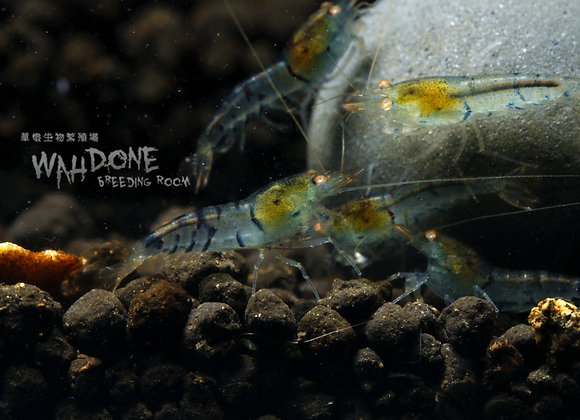 金眼虎紋蝦
