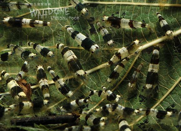 熱賣!深色蜜蜂蝦