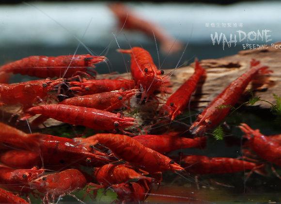 血爪極火蝦