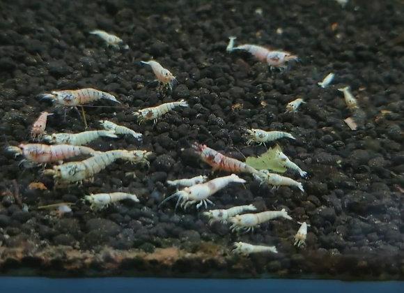白金水晶蝦