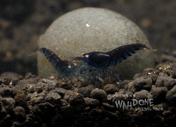 金眼藍虎紋蝦