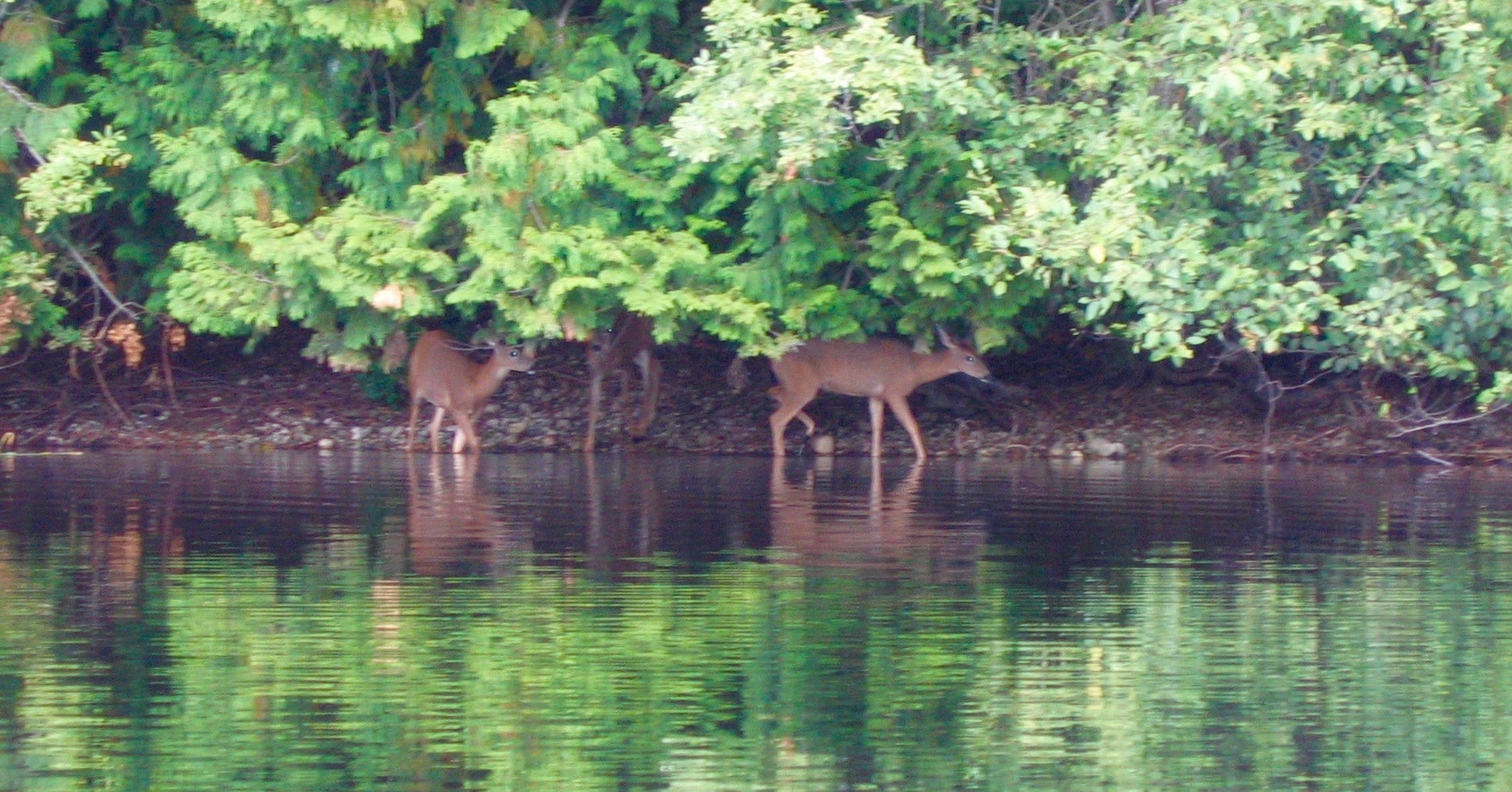 8 BL 3 Deer at East Stream.jpeg