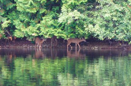 8 BL 3 Deer at East Stream.jpeg
