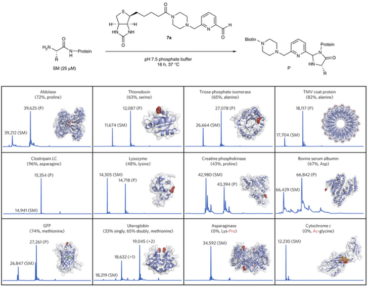 Modification of protein N-termini with 2PCA derivatives