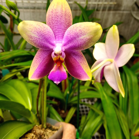Phalaenopsis Sweet Memory 'Bubbles' AM/AOS
