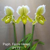 Paph. Fairre Helen