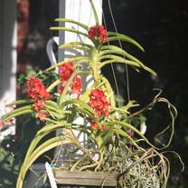 Asc. curvifolium
