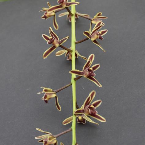 Cym. bicolor