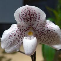 Paph. S. Gratrix X Thaianum