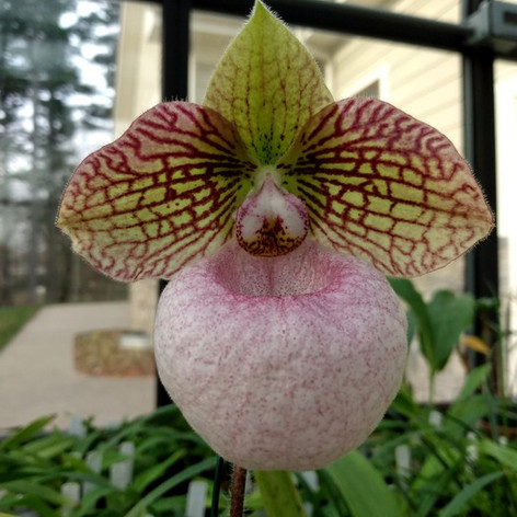 Paph. Fanaticum, 1st bloom, from Orchid Inn