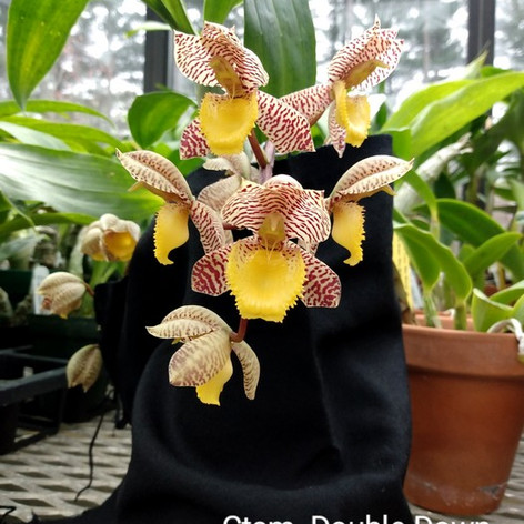 Ctsm. Double Down x tigrinum, 1st blooming(Sunset Valley Orchids)