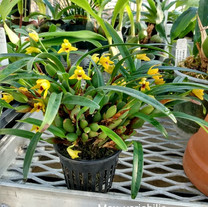 Max. variabilis, New World Orchids