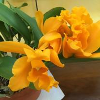 Cattleya Wattana Gold No.2