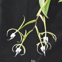 Epi. ciliare