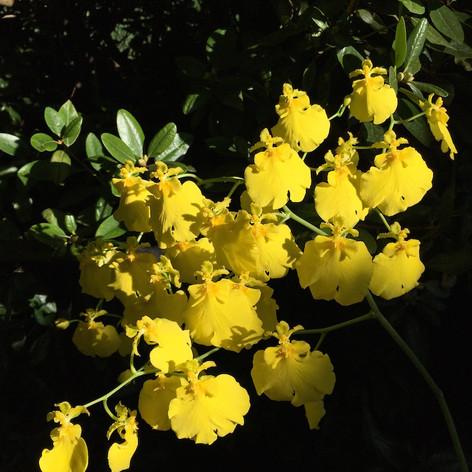 Oncidium Sweet Sugar 'Lemon Drop'