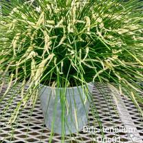 """Ddc. tenellum, blooming in a 7"""" pot"""