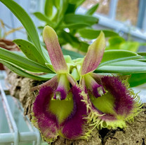 Epidendrum Medusae.
