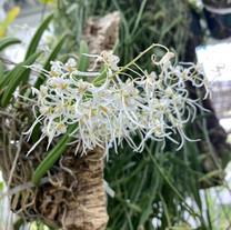 Dendrobium Wasselii
