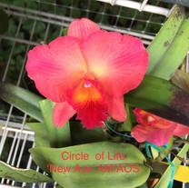 Circle of Life 'New Ace' AM/AOS