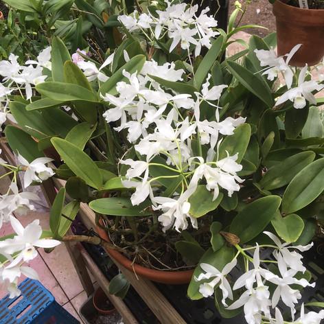 Cattleya skinneri 'Alba Snow'