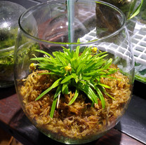 Diodonopsis erinacea