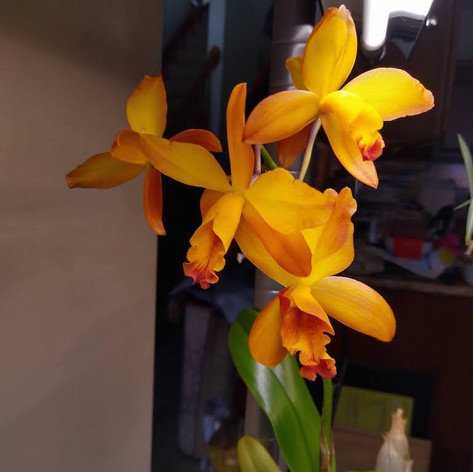 Unnamed plant from Fred Clarke cross: (Slc. Aloha Jewel 'Tangerine' x Blc. Guess What 'SVO' AM/AOS)