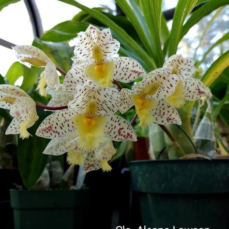 Clo. Aleana Lawson x Ctsm. tigrinum (1st Bloom SVO)