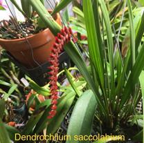Dendrochilum saccolabium