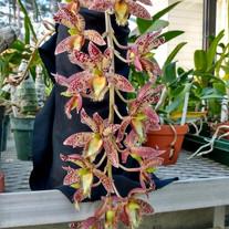 Clo. Joy Prout, Sunset Valley Orchids