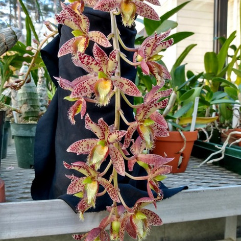 Clo. Joy Prout, Sunset Valley Orchids
