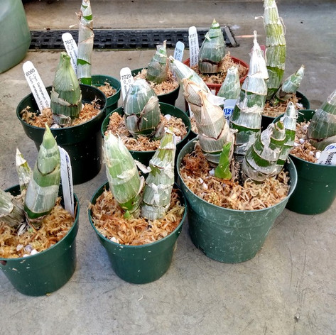 Catasetinae repotting