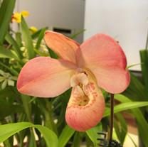 Phragmipedium Mariza Rolando 'Pink Angle' AM/AOS