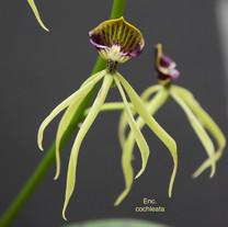 Enc. cochleata