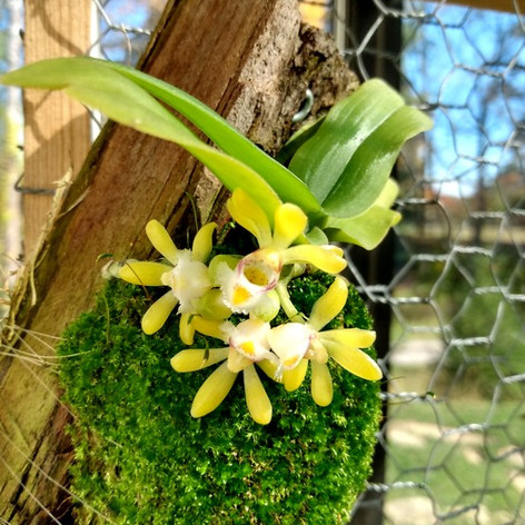 Gastrochilus obliquus(Windswept in Time Orchids)