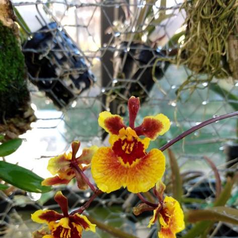 Tolumnia Jairak Rainbow(Daryl Venables, Tezula Orchids)