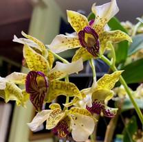 Dendrobium Kaila Quintal  x Dend. Little Altro.