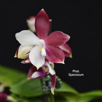 Phal. Speciosum