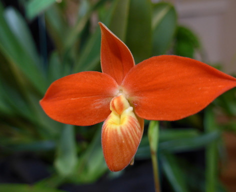 Phragmipedium besseae var. besseae