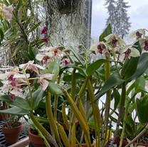 Dendrobium Roy Tokunaga 'Semi Alba' X Roy Tokunaga 'Spots'