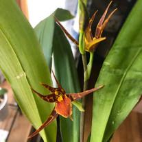 Bst. Tarantula 'Sweet Orange'