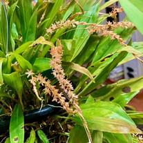 Dendrochilum Ecallosum