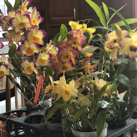 Mobile Dendrobiums in bloom