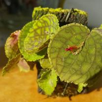 Lepanthes calodictyon x tentaculata