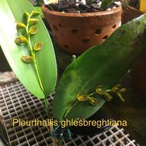 Pleurthallis ghlesbreghtiana
