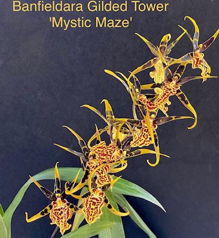 Banfieldara Gilded Tower 'Mystic Maze'
