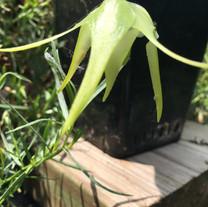 Aeranthes grandiflora