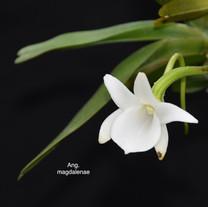 Ang. magdalenae