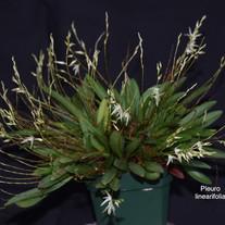 Pleuro linearifolia